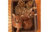 Serval a F1 Savannah a Caracal Kittens K dispozici