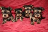 Yorkshire terrier - Prodej