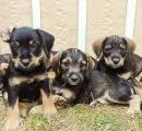 Darujeme 9 krásných štěnátek