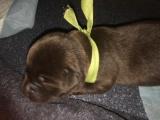 čokoládová štěňátka labradorský retriever