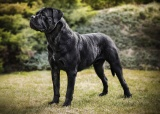 Aristocrat Korec Corso – špičkový krycí pes cane corso