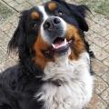 Bernský salašnický pes nabídka krytí