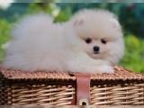Energetic štěňátka Pomeranian