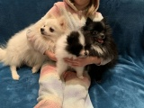Pomeranians k dispozici